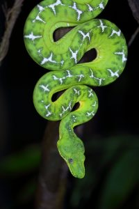 emerald-tree-boa-by-carmen-lundqvist